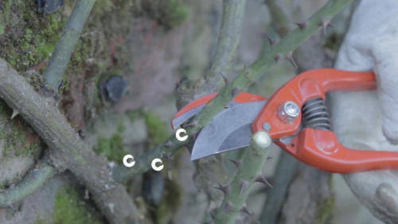 Quand Et Comment Tailler Un Rosier taille du rosier grimpant : période et technique (+ conseils