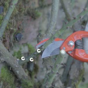 Taille du rosier grimpant p riode et technique conseils en vid o - Taille des rosiers grimpants ...