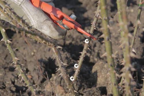 Taille des rosiers technique et p riode conseils en - Taille des rosiers buisson ...