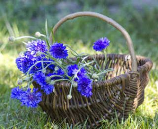 bleuet plante sante bienfaits vertu