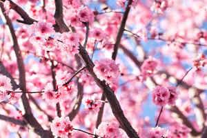 Arbres fleurs 5 essentiels qui fleurissent au printemps - Greffe du cerisier au printemps ...