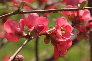 Arbres fleurs 5 essentiels qui fleurissent au printemps - Arbuste fleurs jaunes qui fleurit printemps ...