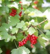 Red currant bushes