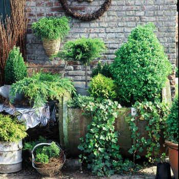 petit conif re id al au jardin ou en terrasse et balcon. Black Bedroom Furniture Sets. Home Design Ideas