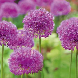 Ail d ornement des boules de couleur au jardin - Variete de sapin d ornement ...