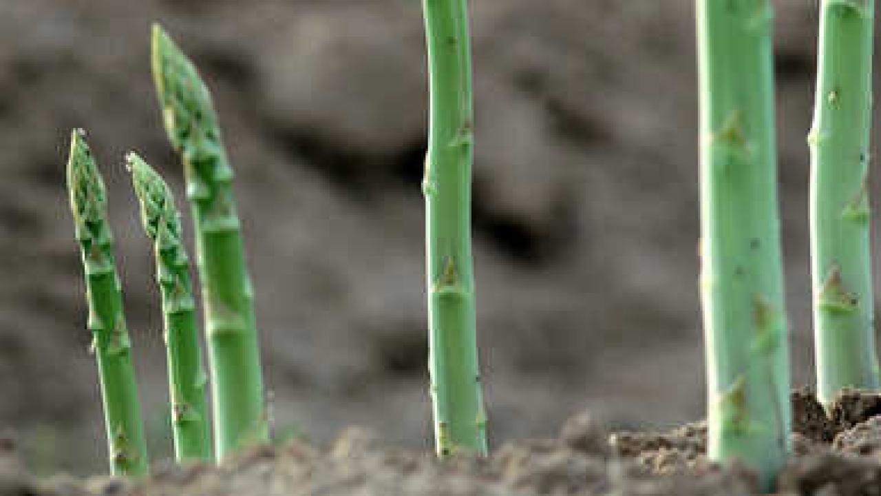 Comment Planter Des Asperges asperge : plantation, culture, récolte