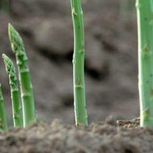Asperge plantation culture r colte - Culture de l asperge ...