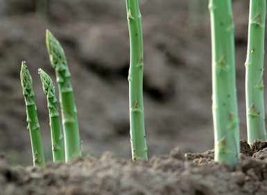 Asperge plantation culture r colte - Comment planter des asperges ...
