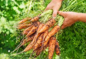 carotte recolte