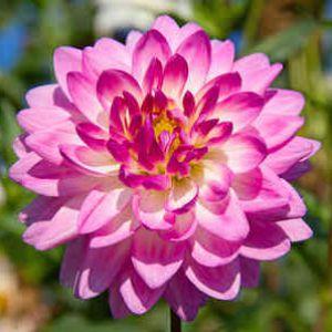 Dahlia entretien du printemps lhiver dahlia des fleurs uniques au jardin altavistaventures Gallery