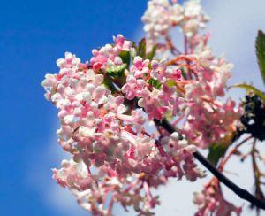 fleur parfumé en hiver