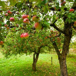 des arbres fruitiers soigner traitement et soin. Black Bedroom Furniture Sets. Home Design Ideas