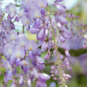 plante grimpante parfumee