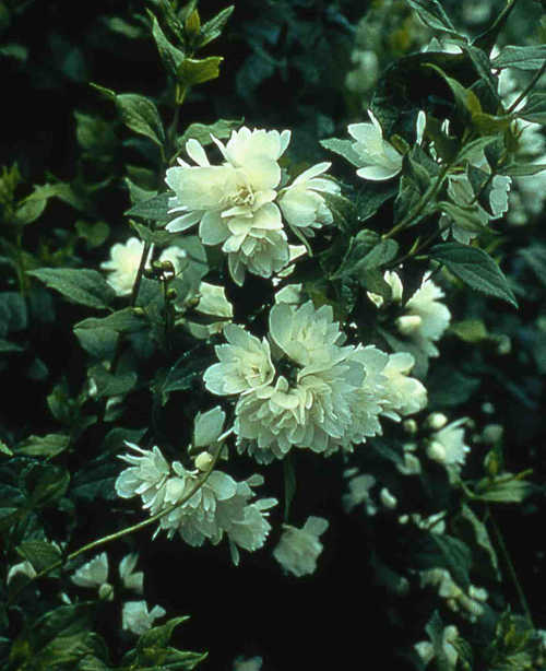 Irresistible mock-orange!