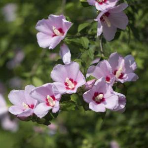 Hibiscus syriacus plantation entretien et taille for Entretien hibiscus exterieur