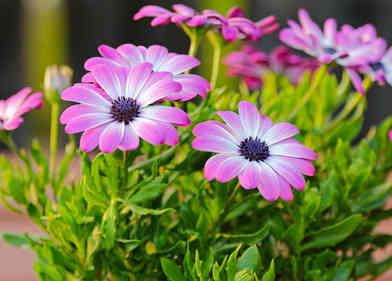 Osteospermum plantation taille et entretien for Plantation de fleurs