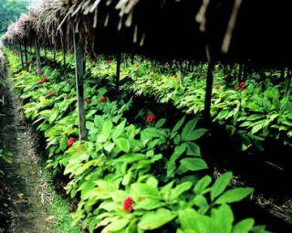 ginseng plante
