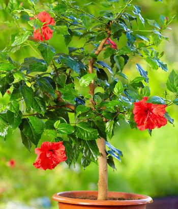Hibiscus d\'intérieur : conseils d\'entretien, culture et arrosage