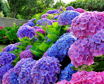 hydrangea paniculata vanille fraise probl mes plantes du jardin et de la maison forum du. Black Bedroom Furniture Sets. Home Design Ideas