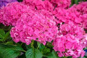 L hortensia inimitable au jardin ou en terrasse - Quand tailler un hortensia ...