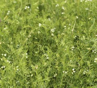 Lentille semis culture et r colte des lentilles - Culture de la truffe ...