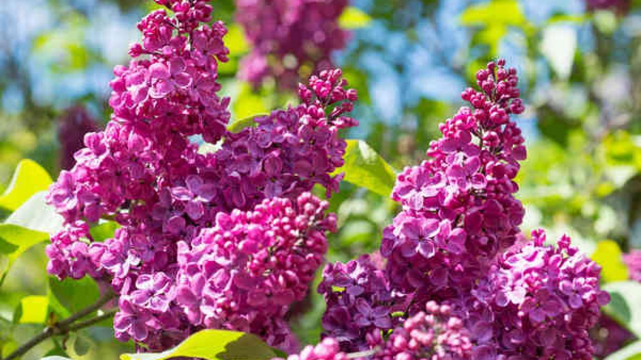 Arbuste Pour Terrain Calcaire lilas : plantation, taille et entretien pour une belle floraison