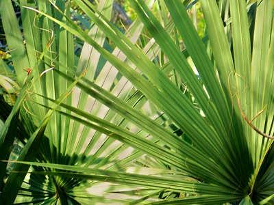 Palmier de Floride, Serenoa repens : bienfaits et vertus pour la santé