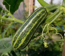 Courgette semis culture et r colte des courgettes vid o - Maladie de la courgette ...