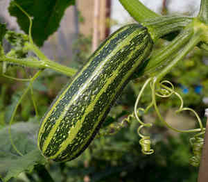 courgette recolte