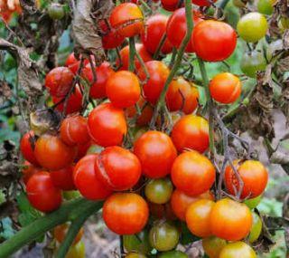 mildiou de la tomate degats