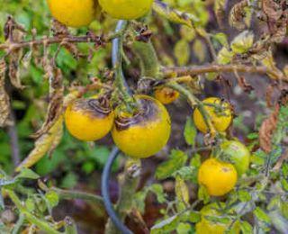 mildiou tomate traitement