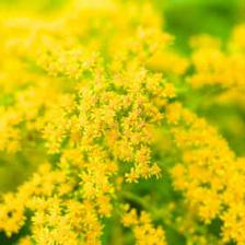 solidago verge d'or