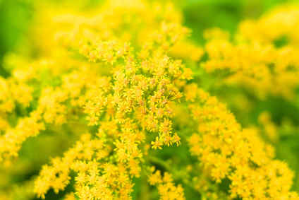 Goldenrod or Solidago health benefits and therapeutic value