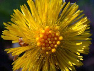 tussilage plante sante bienfaits vertu