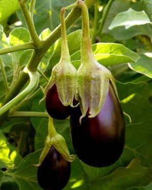 aubergine semis culture et r colte des aubergines. Black Bedroom Furniture Sets. Home Design Ideas
