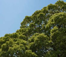 Cinnamomum Camphora ravinstara