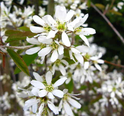 Amelanchier, an all-season eyecatcher