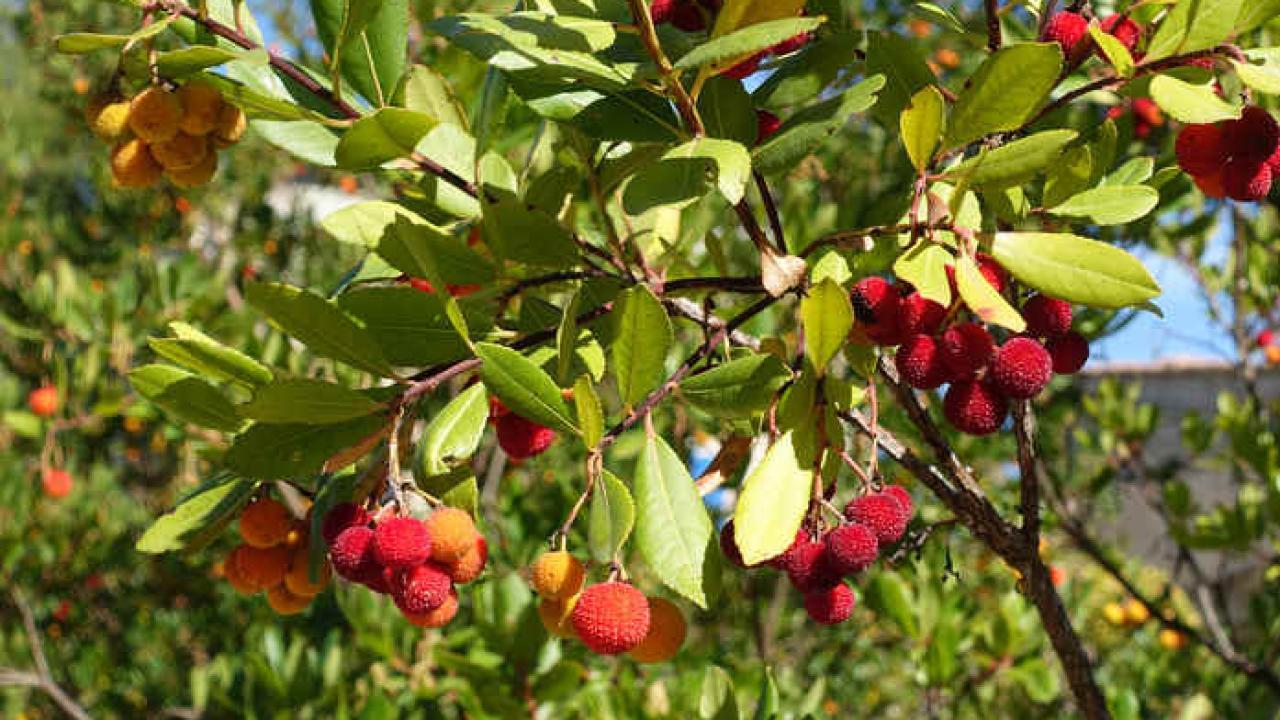 Arbre Persistant En Pot arbousier : plantation, taille et conseils d'entretien
