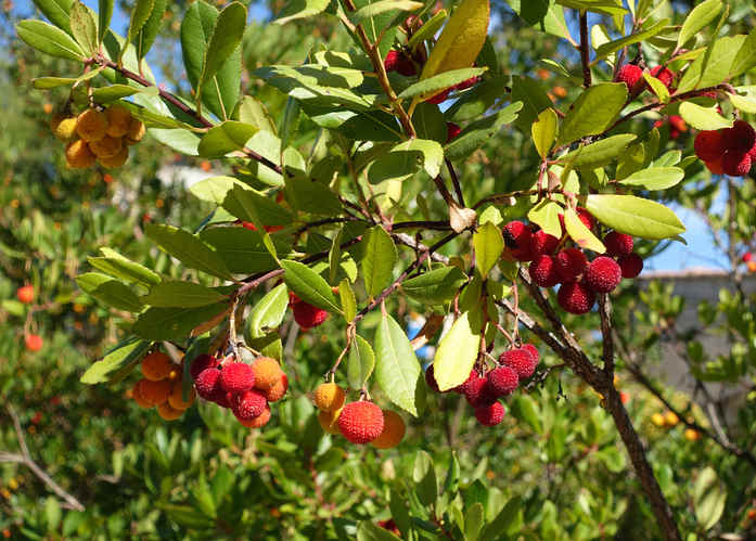 Strawberry tree planting pruning and advice on caring for it - Planting fruit trees in the fall a garden full of vigor ...