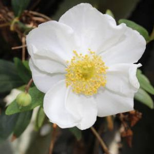 Carpenteria californica tips and guidance for the best possible care carpenteria californica superb white color mightylinksfo