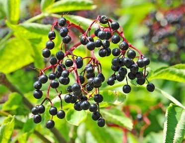 Black elder, known for its fruits