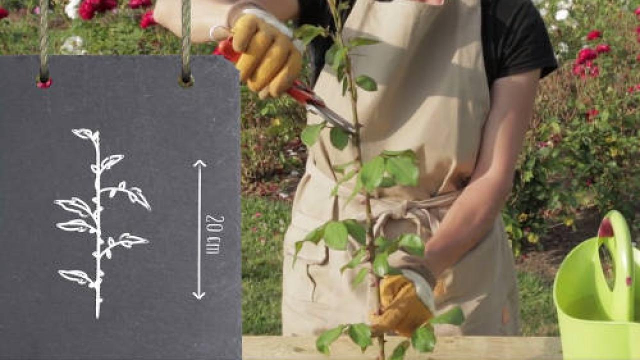 Quand Et Comment Tailler Un Rosier bouture de rosier : technique et période (+ tuto vidéo)