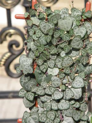 Plantes Retombantes D Interieur Jolie Selection