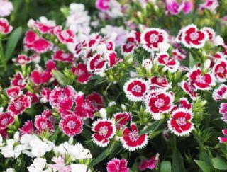 oeillet de chine - Dianthus chinensis
