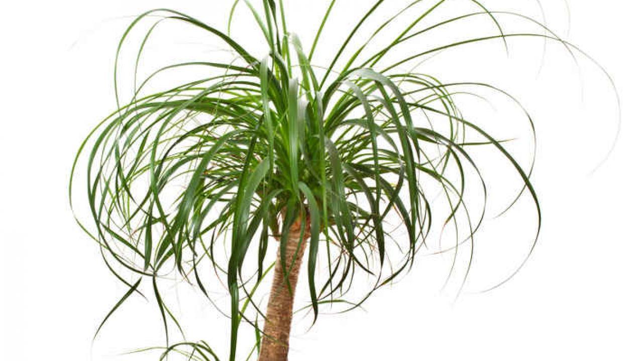Quelle Plante Mettre Dans Un Grand Pot Exterieur beaucarnea (pied d'éléphant) : culture et conseils d'entretien