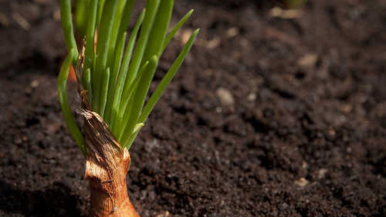Comment Planter De L Échalote echalote : semis, culture et récolte des échalotes