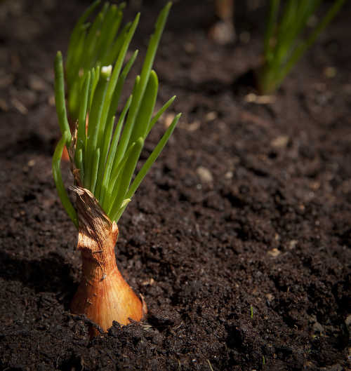 Shallot, how to grow it