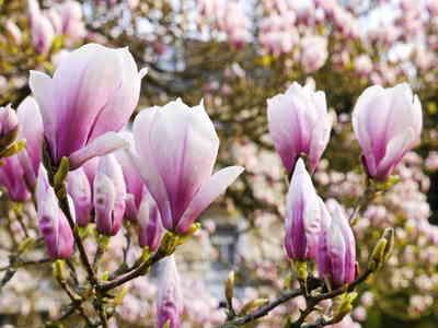 Magnolia plantation entretien et taille des magnolias - Magnolia persistant petite taille ...