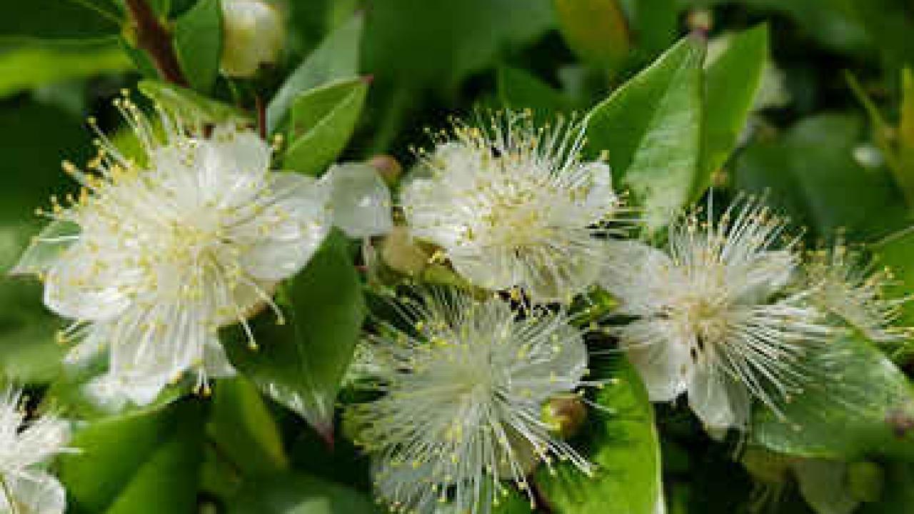 Arbre Persistant En Pot myrte : plantation, taille et conseils d'entretien