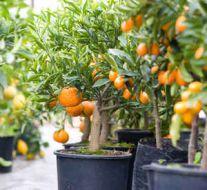 orange tree greenhouse